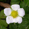 Fragaria vesca flower 2004-02-23.jpg