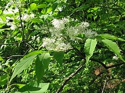 Fraxinus sieboldiana 1.JPG