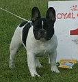 French Bulldog pied.jpg