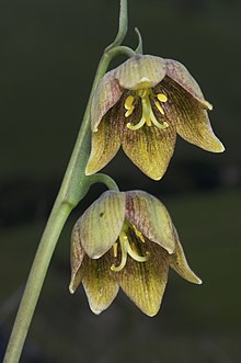 Fritillaria agrestis.jpg