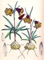 Fritillaria recurva CBM.png