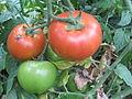Fruto de la tomatera en la planta.JPG
