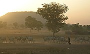 A Fulani herder drives his cattle in northern Cameroon.
