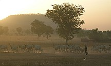 Cameroun-Økonomi og infrastruktur-Fil:Fulani herd in the dust