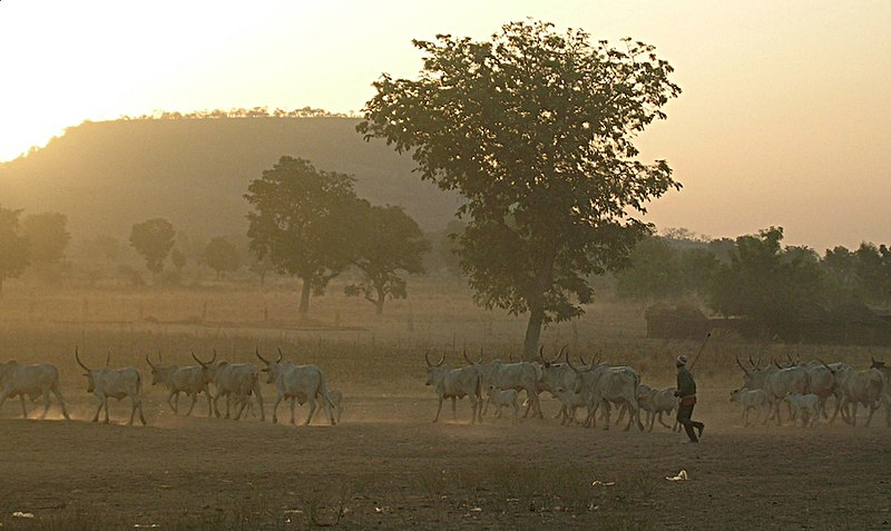 Fulani herd in the dust.jpg