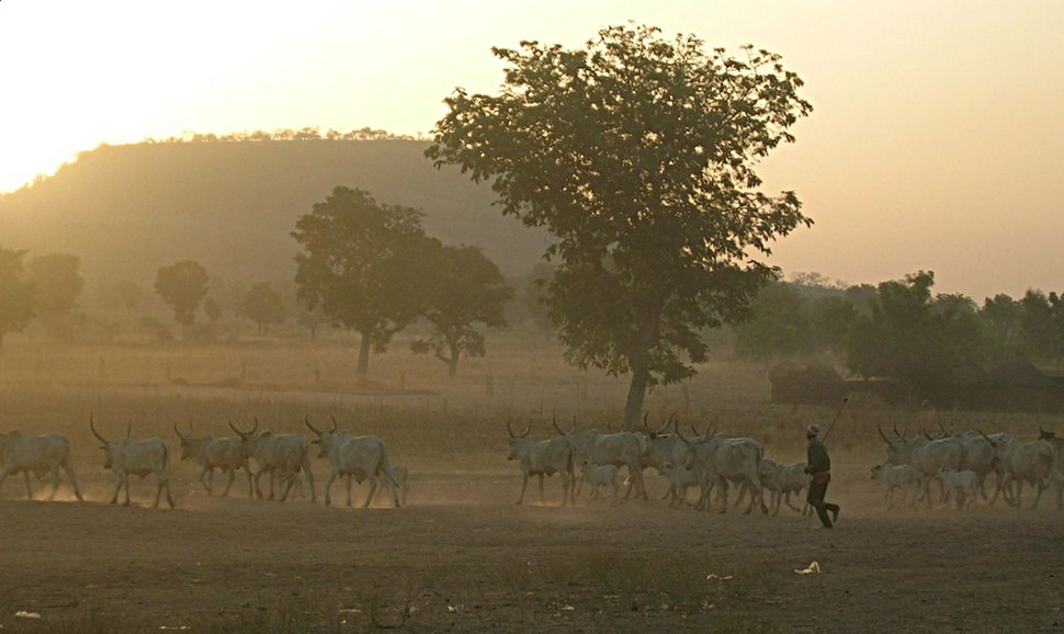 Fulani herd in the dust