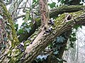 Fungi-laden branch - geograph.org.uk - 1098782.jpg