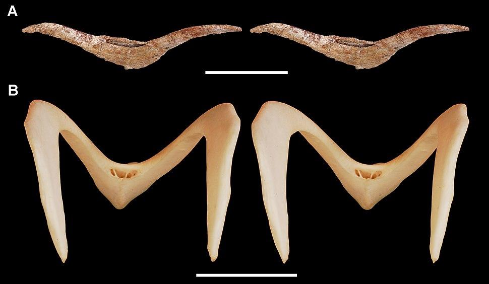 Furcula of the theropod Aerosteon riocoloradensis and magpie goose Anseranas semiplamata