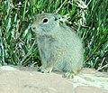 GROUND-SQUIRREL, UINTA (Spermophilus armatus) (6-5-2014) bear creek, west of huntington, emery co, ut (1) (14577063706).jpg