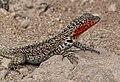 Galápagos Lava Lizard 02 (cropped).jpg