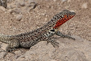Robert C. Stebbins -  Stebbins studied thyroid and pineal function in Galápagos lava lizards