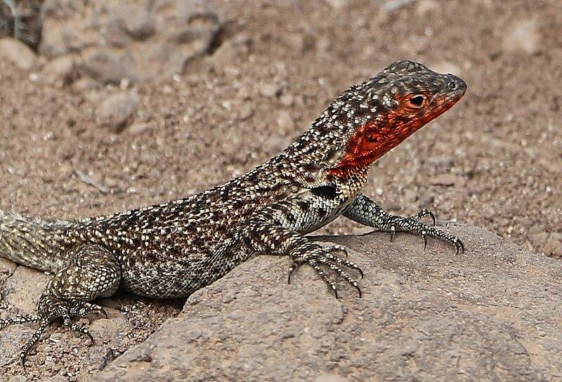 File:Galápagos Lava Lizard 02 (cropped).jpg