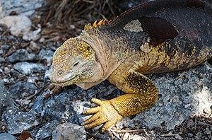 Galapagos land iguana 01.jpg