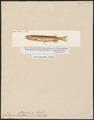 Galaxias attenuatus - 1700-1880 - Print - Iconographia Zoologica - Special Collections University of Amsterdam - UBA01 IZ14800083.tif