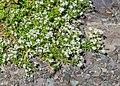 Galium odoratum at Col de Tavaneuse.jpg