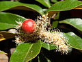 Gall induced by a wasp (Dryocosmus castanopsidis) on Chinquapin (Chrysolepis chrysophylla) (5995131361).jpg