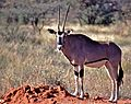 Galla Oryx (Oryx gallarum) (7667413878).jpg