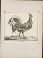 Gallus ferrugineus - 1767 - Print - Iconographia Zoologica - Special Collections University of Amsterdam - UBA01 IZ17000278.tif