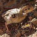 Gambel's quail chicks (20678432374) (cropped).jpg