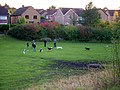 Gathering of dog owners, off Appledown Drive - geograph.org.uk - 1070003.jpg