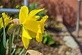 Gelbe-Narzisse.jpg