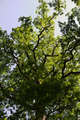 Gemuenden Ehringshausen Feldatal Quercus robur d.png