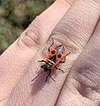 Gendarme (insecte) sur la main d'un enfant de 7 ans (Parc de la Tête d'Or).jpg