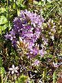 Gentianella austriaca sl6.jpg