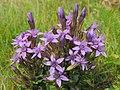 Gentianella germanica (29057869291).jpg