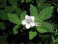 Geranium thunbergii 5450335.jpg