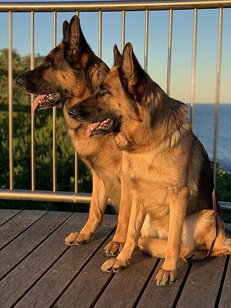 German Shepherd male and female pair