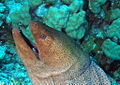 Giant Moray eel with cleaner wrass in its mouth at Gota Kebir, St John's reefs, Red Sea, Egypt -SCUBA (6325525875).jpg