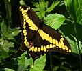 Giant Swallowtail, Shirleys Bay.jpg