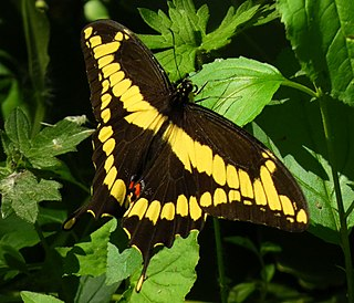 <i>Papilio cresphontes</i> species of insect