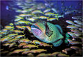 Giant triggerfish and school of goldies.jpg