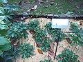 Giardino botanico di Brera (Milan 07.jpg