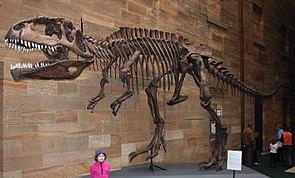 Skelettreplikat von Giganotosaurus im Australian Museum in Sydney