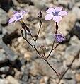 Gilia cana ssp speciformis 1.jpg