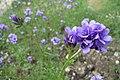 Gilia laciniata flower.jpg