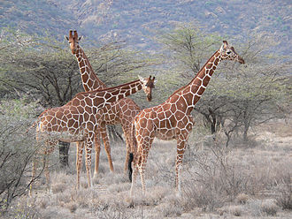 Reticulated giraffe - Reticulated giraffes at Samburu National Reserve, Kenya