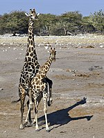 meddig van a zsiráf pénisze az erekció előnyeiről