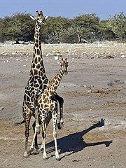 180px-Giraffa_camelopardalis_angolensis_%28mating%29 dans GIRAFE