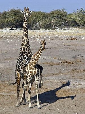 Mating Angolan Giraffes (Giraffa camelopardalis angolensis) at Chudop