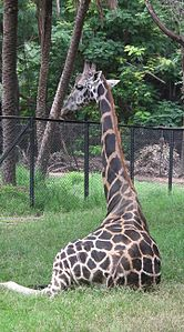 Giraffa camelopardalis from Nehru Zoological park Hyderabad 4367.JPG