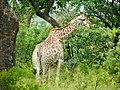 Giraffe (Giraffa camelopardalis) (51118552919).jpg