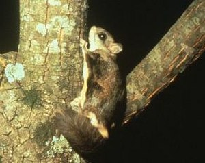 Flying squirrel - Northern flying squirrel (Glaucomys sabrinus)