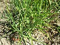Glyceria notata plant (01).jpg