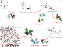 Glycogenesis.png