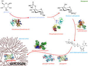 Glycogenesis - Image: Glycogenesis