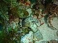 Glyptauchen panduratus Goblinfish P1021054.JPG